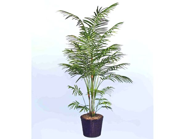 Dwarf Areca Palm Tree 1