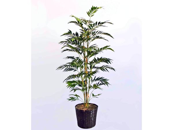 6' Bamboo Palm in Basket 1