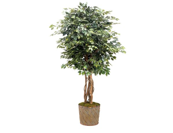 Ficus Tree Basket