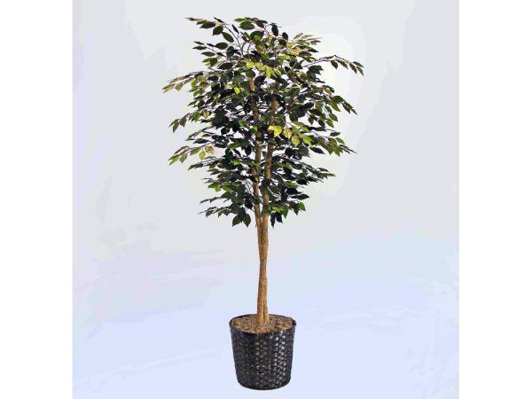 Deluxe Ficus